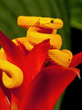 Eyelash Viper  Bothriechis Schlegeli  Native to Southern Mexico into Central America