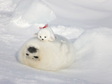 Harp Seal Pup and Stuff Seal Toy on Ice  Iles De La Madeleine  Quebec  Canada