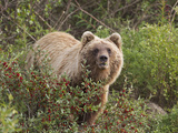 Grizzly Bear  Arctic National Park and Preserve  Alaska  USA