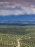 Olive Groves  Ubeda  Spain