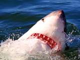 Great White Shark (Carcharodon Carcharias)  Capetown  False Bay  South Africa