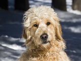 Portrait of a Goldendoodle Sitting in the Snow  New Mexico  USA