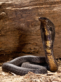 Pakistani Black Cobra  Naja Naja Karachiensis  Native to Pakistan and Surrounding Areas
