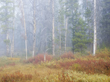 Foggy Autumn Morning  Challis National Forest  Sawtooth National Recreation Area  Idaho  USA