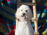 Goldendoodle Sitting on Southwestern Blanket with Wooden Ladder and Red Chilies  New Mexico  USA