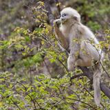 Golden Monkeys  Qinling Mountains  China