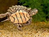 Black-Knobbed Sawback Turtle  Graptemys Nigrinoda  Native to Alabama and Mississippi