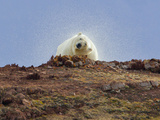 Polar Bear  Liefdefjorden Fiord  Norway