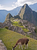Llamas Have Taken Residence Amongst the Agricultural Terraces  Machu Picchu  Peru