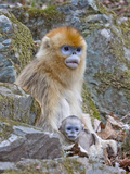 Female Golden Monkey  Qinling Mountains  China