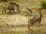 Sambar  Madhya Pradesh  Kanha National Park  India