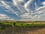 Vineyard of Walla Walla Vintners  Walla Walla  Washington  USA