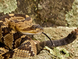 Northern Black-Tailed Rattlesnake  Crotalus Molossus  Native to Southwestern Us