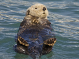 Sea Otter  Prince William Sound  Alaska  USA