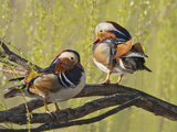 Mandarin Duck  Beijing  China