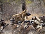 Spotted Hyenas (Crocuta Crocuta) and Vultures (Gyps Africanus)  Kruger Nat'l Park  South Africa