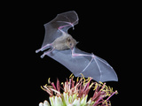 Leafnosed Fruit Bat  Arizona  USA