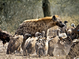Spotted Hyenas (Crocuta Crocuta) and Vultures  Kruger Nat'l Park  South Africa