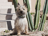 A White Cairn Terrier Sitting Next to a Cactus