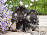 Two German Shepherd Puppies Sitting Next to Purple Daisies on a Garden Pathway  New Mexico  USA