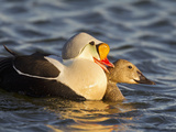 King Eiders  Arctic National Wildlife Refuge  Alaska  USA