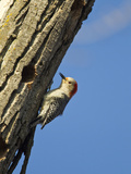 Red-Bellied Woopecker in Tree Near Kearney  Nebraska  USA
