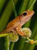 Golden Treefrog  Rhacophorus Leucomystax  Native to Malaysia