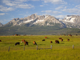 Grazing Cattle  Sawtooth National Recreation Area  Idaho  USA