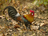 Red Junglefowl  Madhya Pradesh  Kanha National Park  India