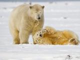 Polar Bear  Beaufort Sea  Alaska  USA