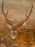 Spotted Deer  Madhya Pradesh  Kanha National Park  India