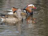 Mandarin Duck  Beijing  China