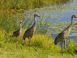 Sandhill Crane  Florida  USA