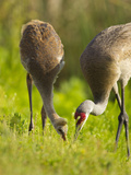 Sandhill Crane Feeding with Chick  Grus Canadensis  Viera Wetlands  Florida  USA