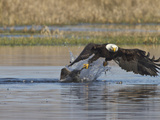 Bald Eagle  Ridgefield National Wildlife Refuge  Washington  USA