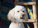 Portrait of a Goldendoodle Against a Southwestern Blanket and Wooden Ladder  New Mexico  USA