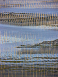 Bamboo Sticks in the Seaweed Farm at Sunrise  East China Sea  Xiapu  Fujian  China
