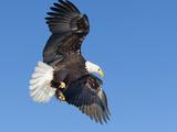 Mature Bald Eagle  Alaska  USA