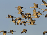 Sandhill Cranes Leave Corn Fields  Heading to Platte River  Near Kearney  Nebraska  USA