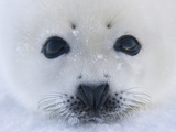 Harp Seal Pup on Ice  Iles De La Madeleine  Quebec  Canada