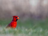 Northern Cardinal in Loup County  Nebraska  USA