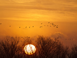 Sandhill Cranes Silhouetted Aginst Rising Sun  Leaving Platte River  Near Kearney  Nebraska  USA