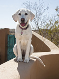 A Goldendoodle Puppy Sitting on an Adobe Wall  New Mexico  USA