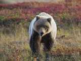 Grizzly Bear  Denali National Park  Alaska  USA