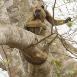 Black Howler Monkey  Mato Grosso  Pantanal  Brazil