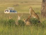 Cheetah (Acinonyx Jubatus) with Safari Jeep in the Grass  Maasai Mara National Reserve  Kenya