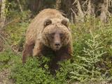 Grizzly Bear  Arctic National Park and Preserve  Alaska  USA