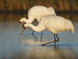 Whooping Crane  Aransas National Wildlife Refuge  Texas  USA