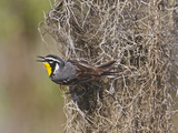 Yellow-Throated Warbler  Texas  USA