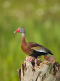 Black-Bellied Whistling Duck on Cabbage Palm  Dendrocygna Autumnalis  Viera Wetlands  Florida  USA
